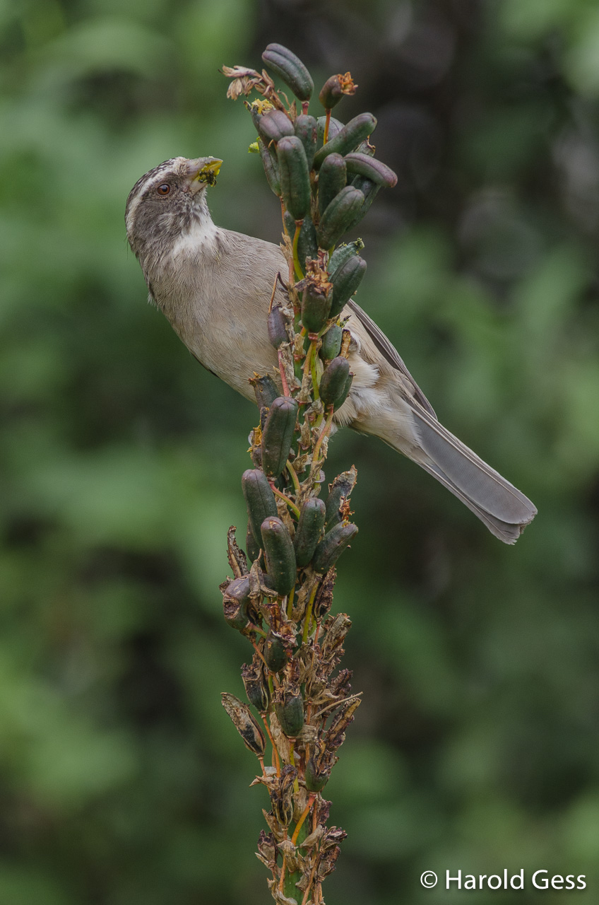 Streak-headed Seedeater, Crithagra gularis, Grahamstown, Eastern Cape