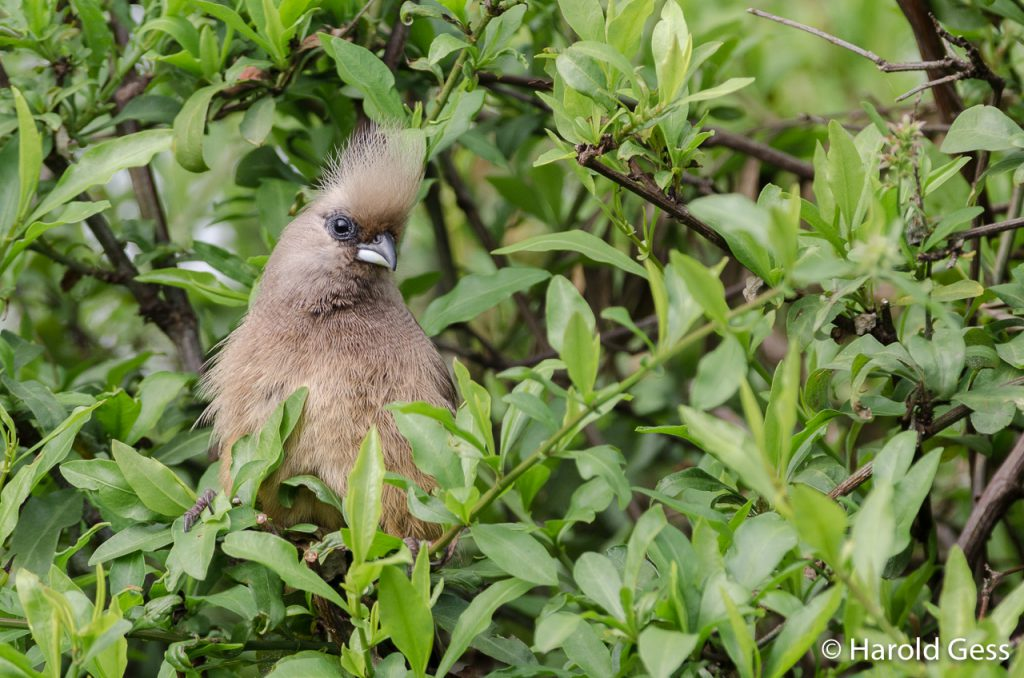 Speckled Mousebird, Colius striatus, Grahamstown, Eastern Cape