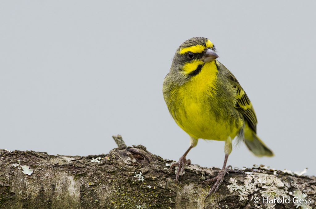 Yellow-fronted Canary, Crithagra mozambica, Grahamstown, Eastern Cape