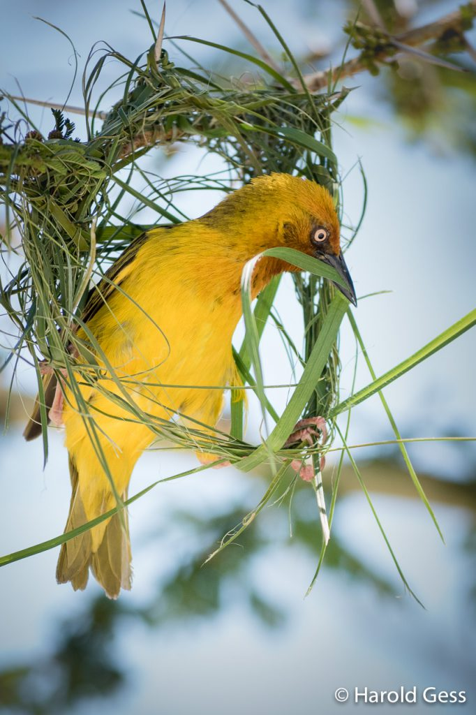 Cape Weaver, Ploceus capensis, male nest building, Grahamstown, Eastern Cape