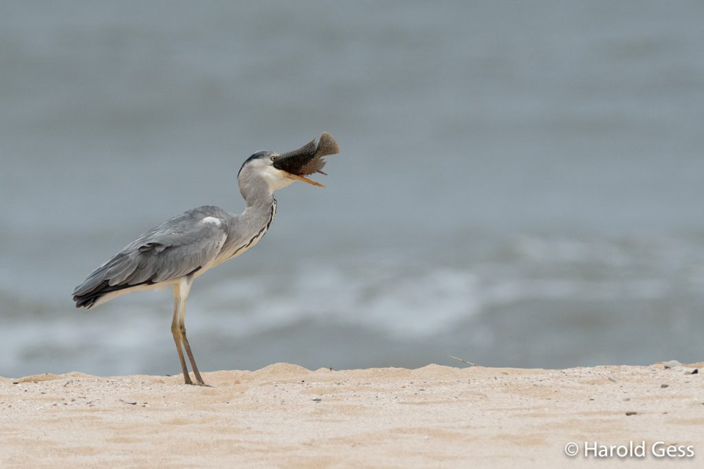Grey Heron, Ardea cinerea, with fish prey, Port Alfred, Eastern Cape