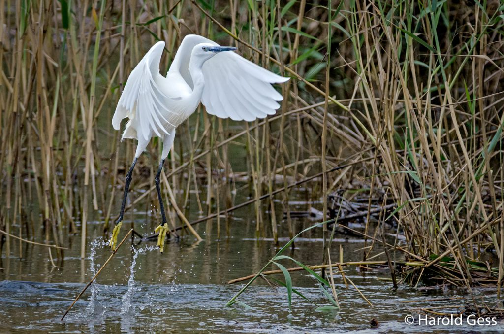 Little Egret, Egretta garzetta, Port Alfred, Eastern Cape