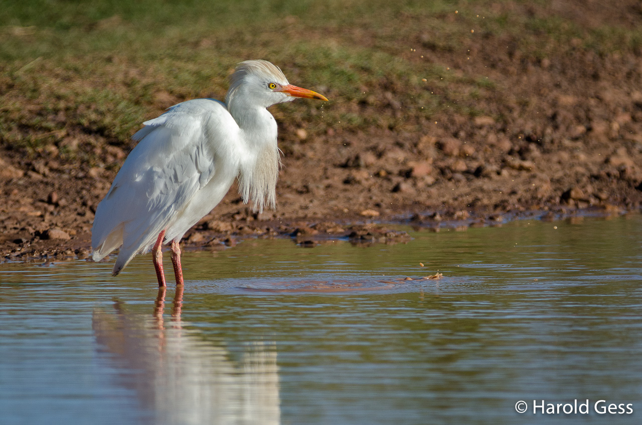 Cattle Egret, Bubulcus ibis, Grahamstown, Eastern Cape