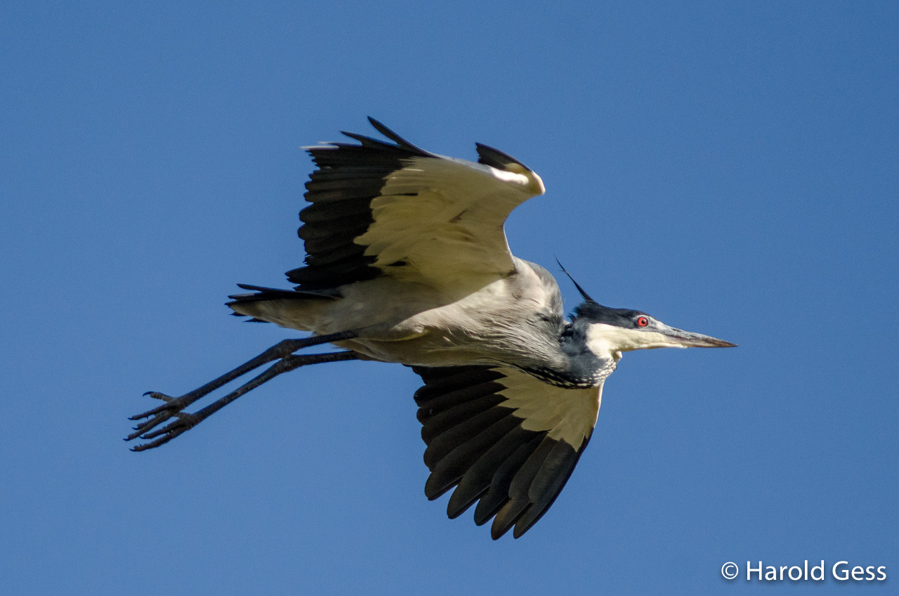 Black-headed Heron, Ardea melanocephala,breeding colours, in flight, Grahamstown Eastern Cape