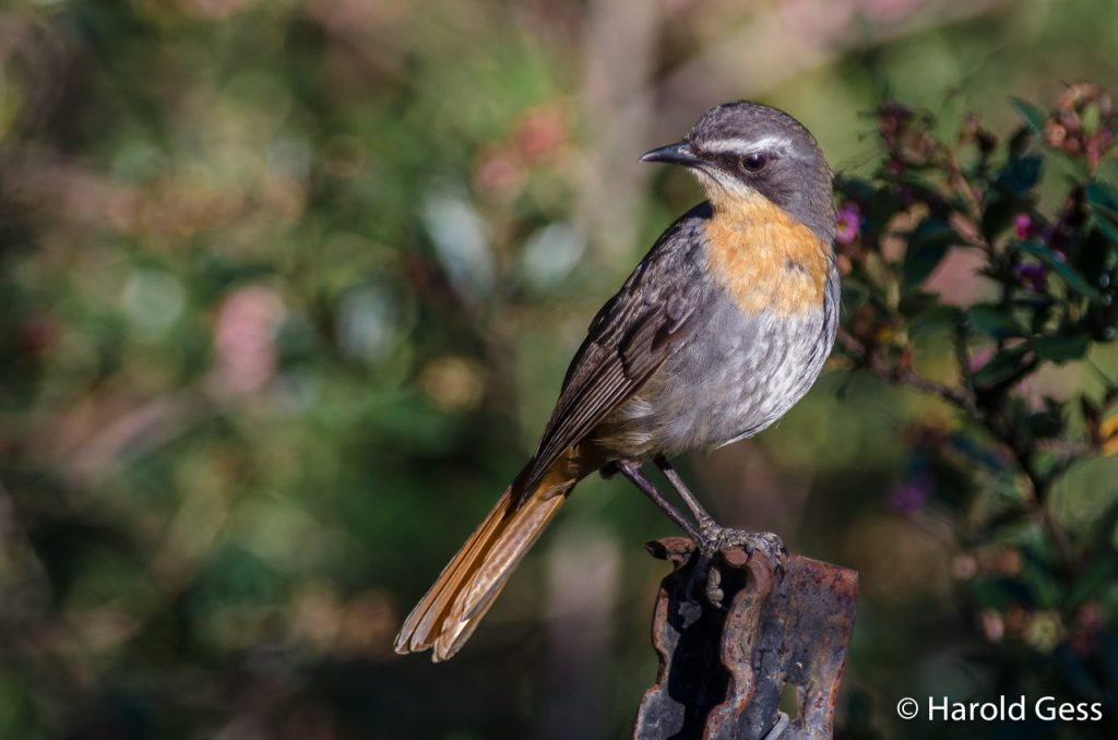 Cape Robin-Chat, Cossypha caffra, Grahamstown, Eastern Cape