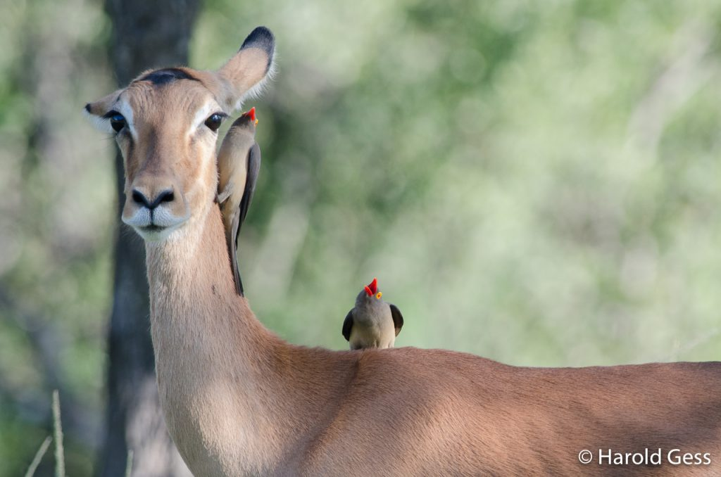 Red-billed Oxpecker, Buphagus erythrohynchus, on Impala, Aepyceros melampus, Leeupoort, Limpopo