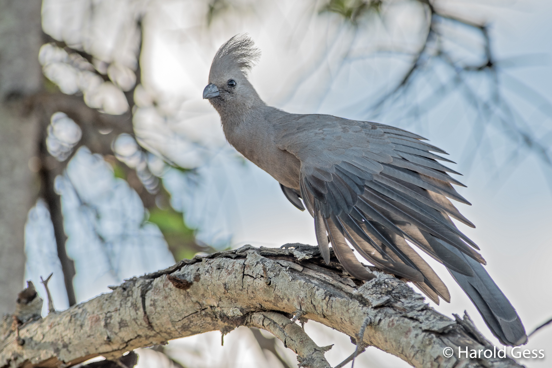 Grey Go-away-bird, Corythaixoides concolor, Leeupoort, Limpopo