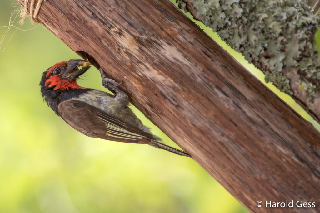Black-collared Barbet, Lybius torquatus, adult at nest with fruit, Grahamstown Eastern Cape