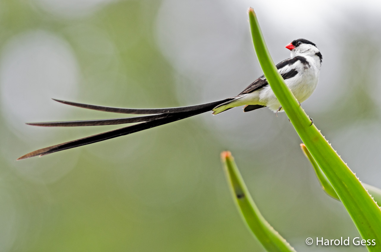 Pin-tailed Whydah, Vidua macroura, Grahamstown Eastern Cape