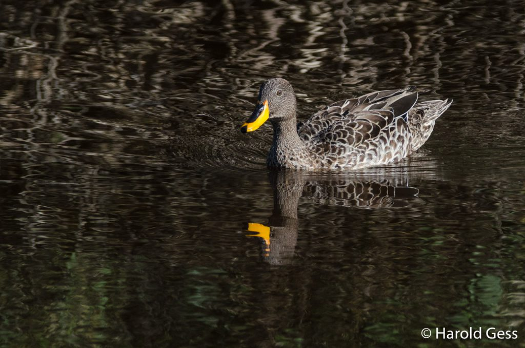 Yellow-billed Duck, Anas undulata, Port Alfred Eastern Cape