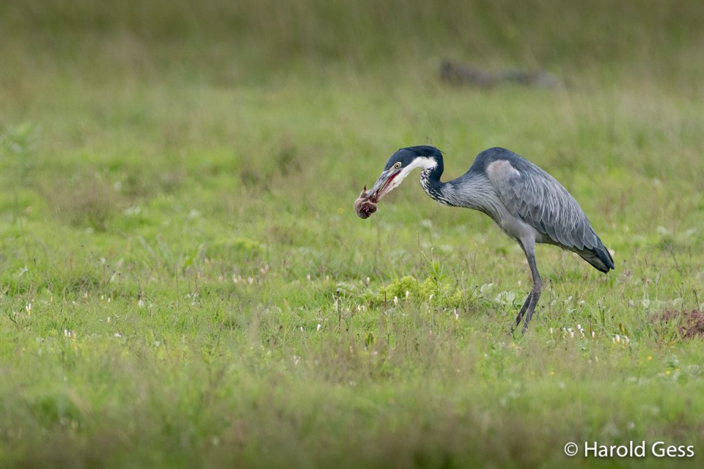 Black-headed Heron, Ardea melanocephala, with prey, Grahamstown Eastern Cape
