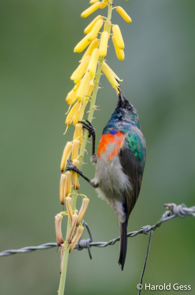 Greater Double-collared Sunbird, Cinnyris afer, male, transitional plumage, Grahamstown, Eastern Cape