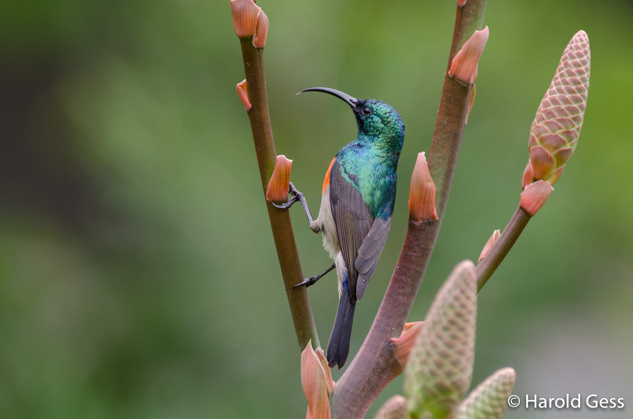 Greater Double-collared Sunbird, Cinnyris afer, male, Grahamstown, Eastern Cape