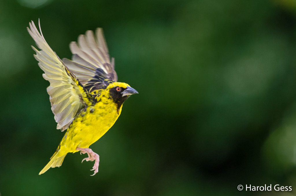Village Weaver, Ploceus cucullatus, male in flight, Grahamstown, Eastern Cape