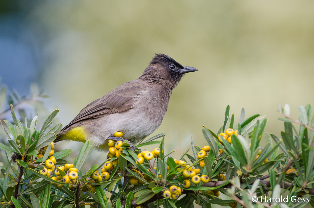 Black-capped Bulbul, Pycnonotus tricolor, Grahamstown, Eastern Cape