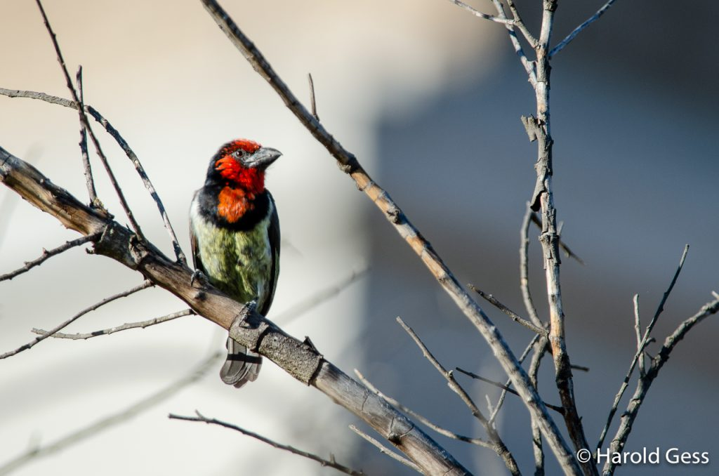 Black-collared Barbet, Lybius torquatus, Grahamstown, South Africa