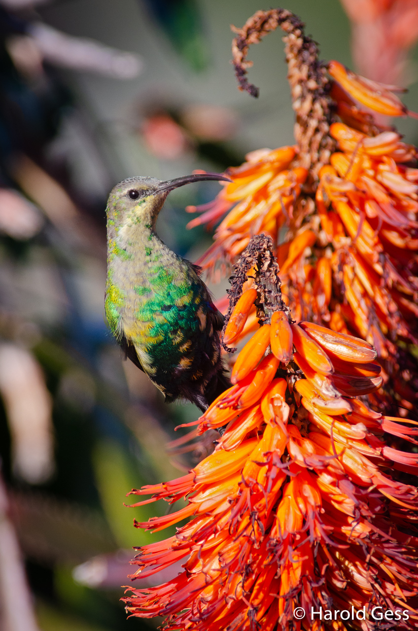 Malachite Sunbird, Nectarinia famosa, male, Grahamstown, South Africa