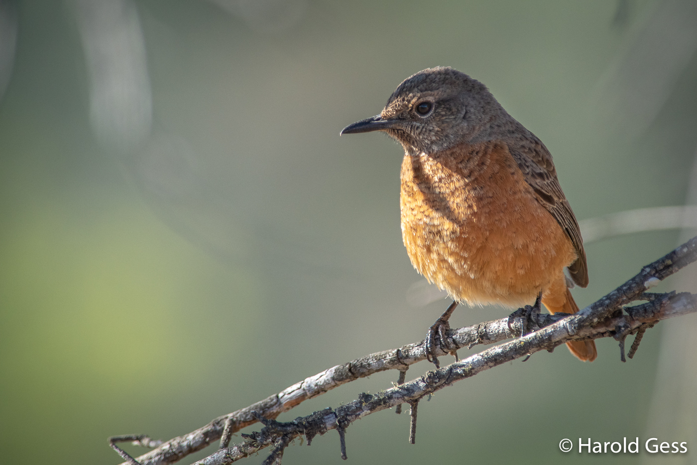Cape Rock-Thrush, Monticola rupestris, female, Grahamstown, Eastern Cape, South Africa