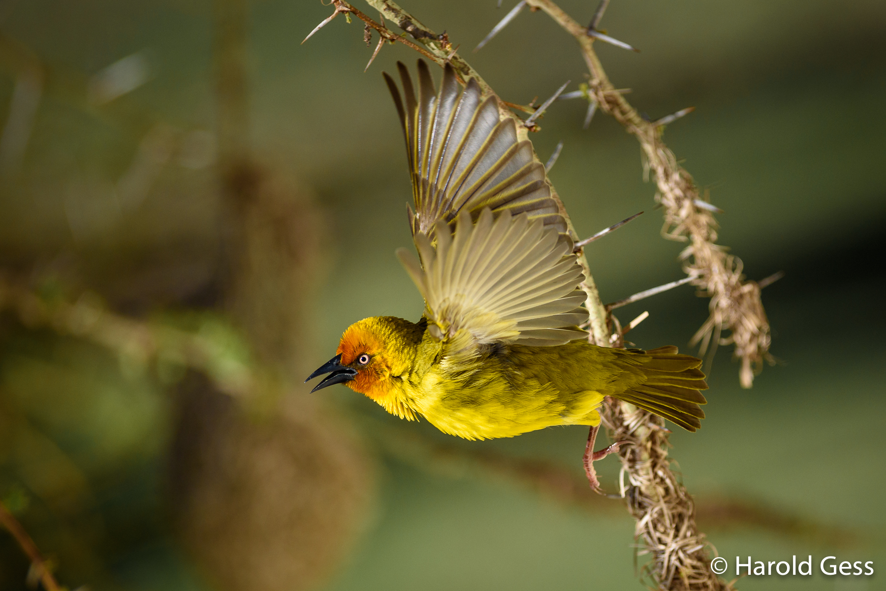 Cape Weaver, Ploceus capensis, male in flight, Grahamstown, Eastern Cape