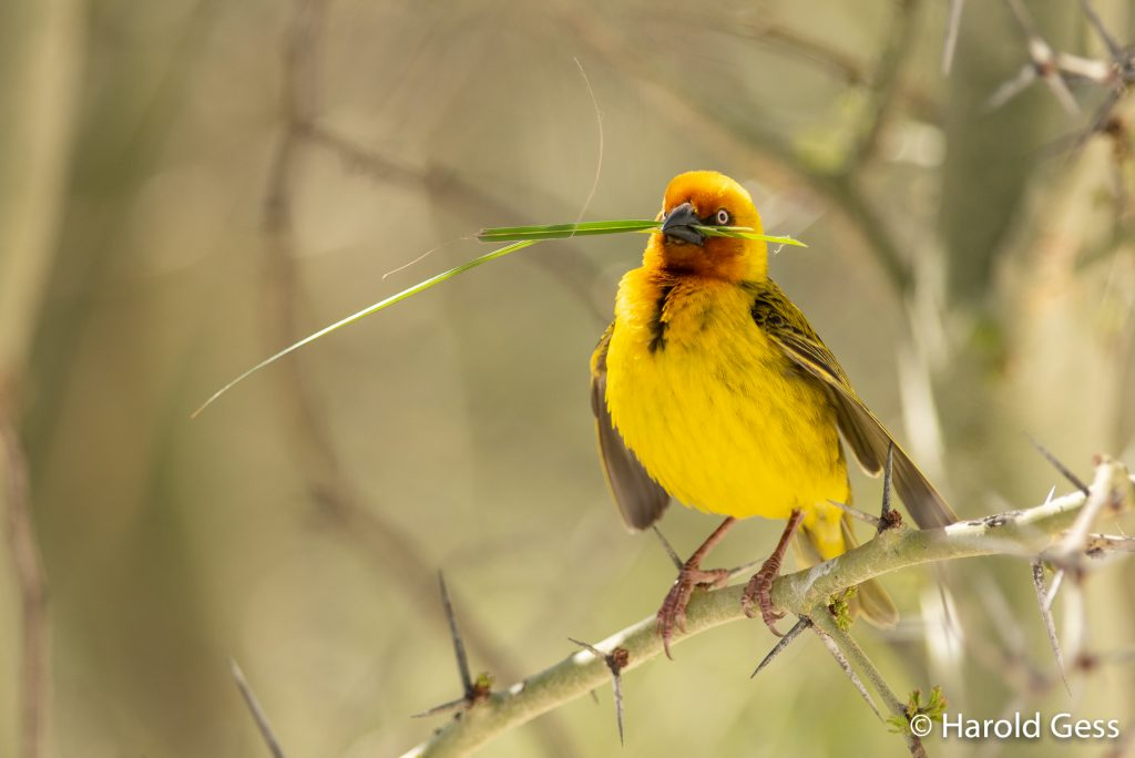 Cape Weaver, Ploceus capensis, male with building material, Grahamstown, Eastern Cape