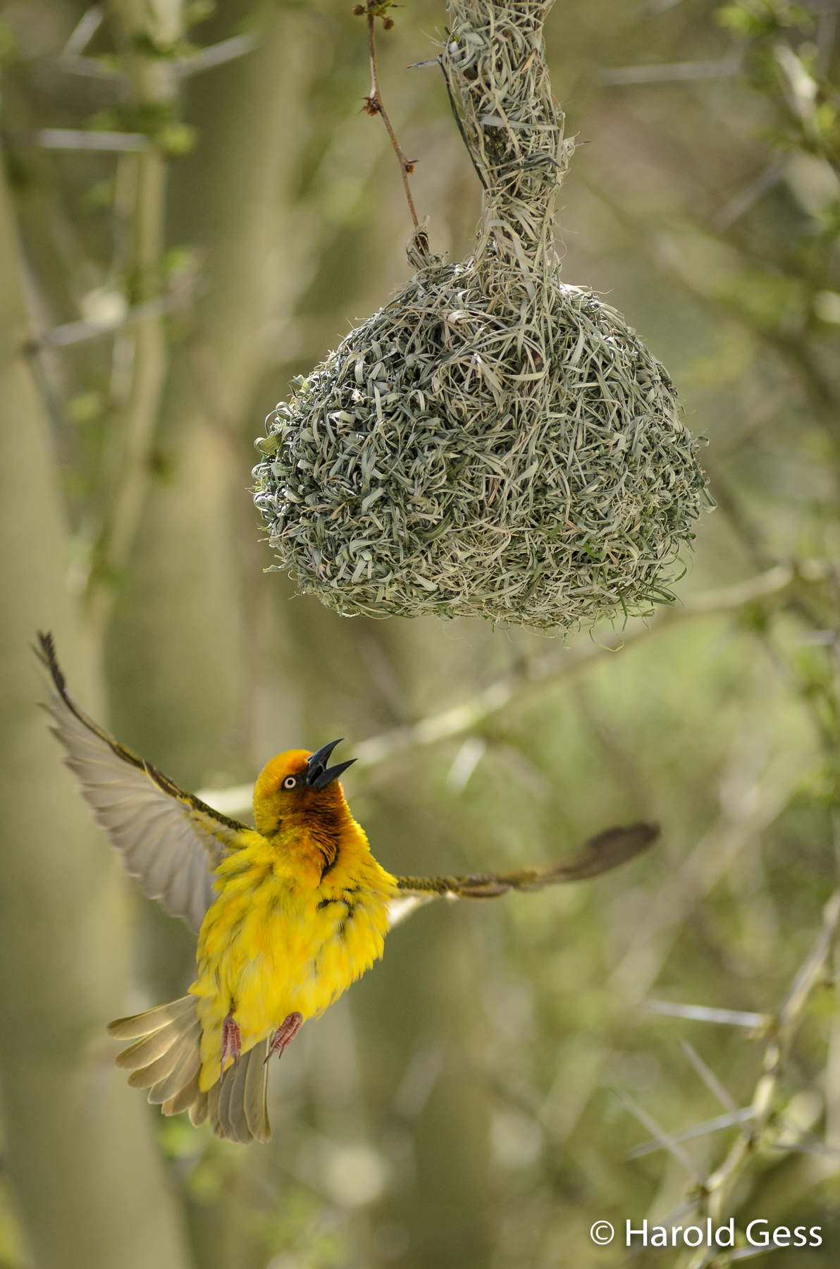Cape Weaver, Ploceus capensis, male approaching nest, Grahamstown, September 2018