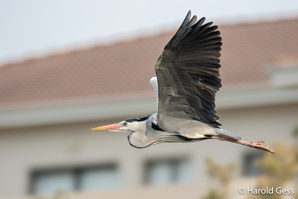 Grey Heron, Ardea cinerea, male in flight, Port Alfred, Eastern Cape, August 2018
