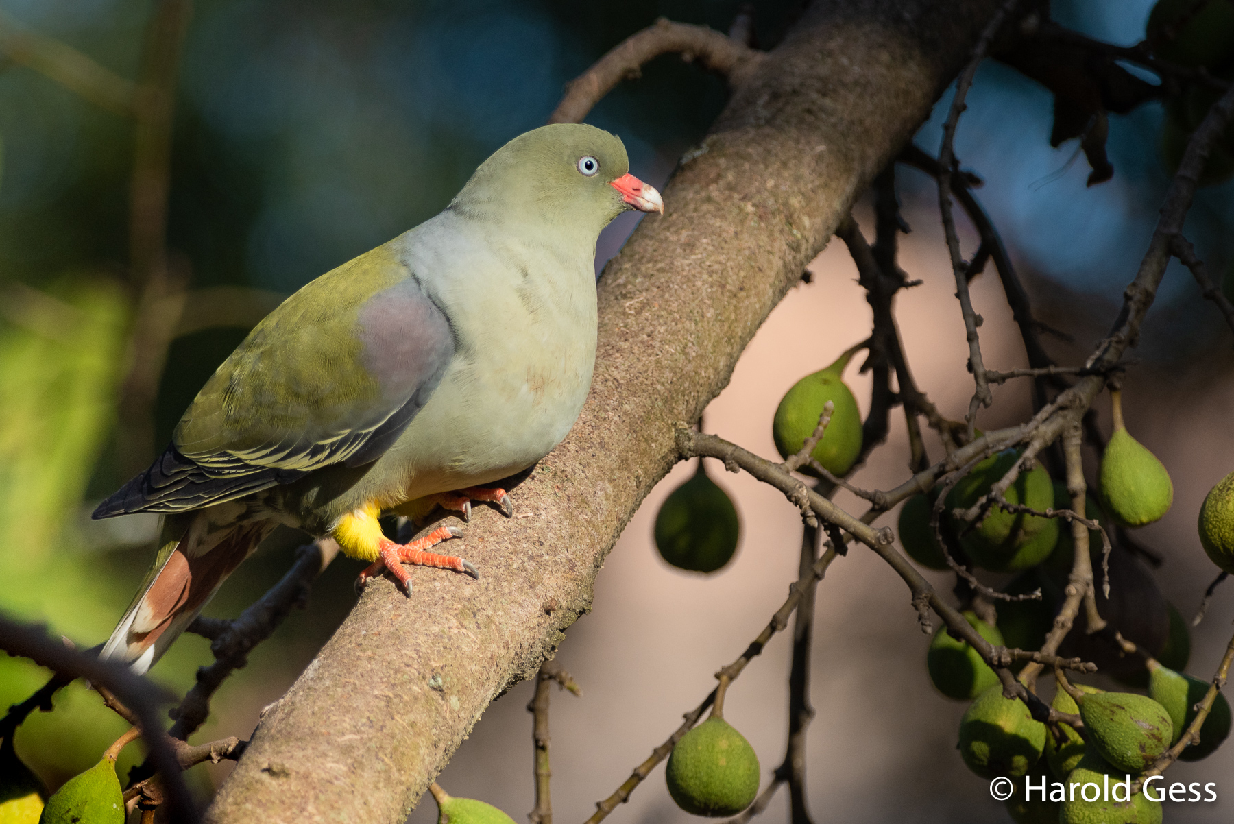African Green Pigeon, Treron calvus, on indigenous fig tree, Grahamstown, Eastern Cape, September 2018
