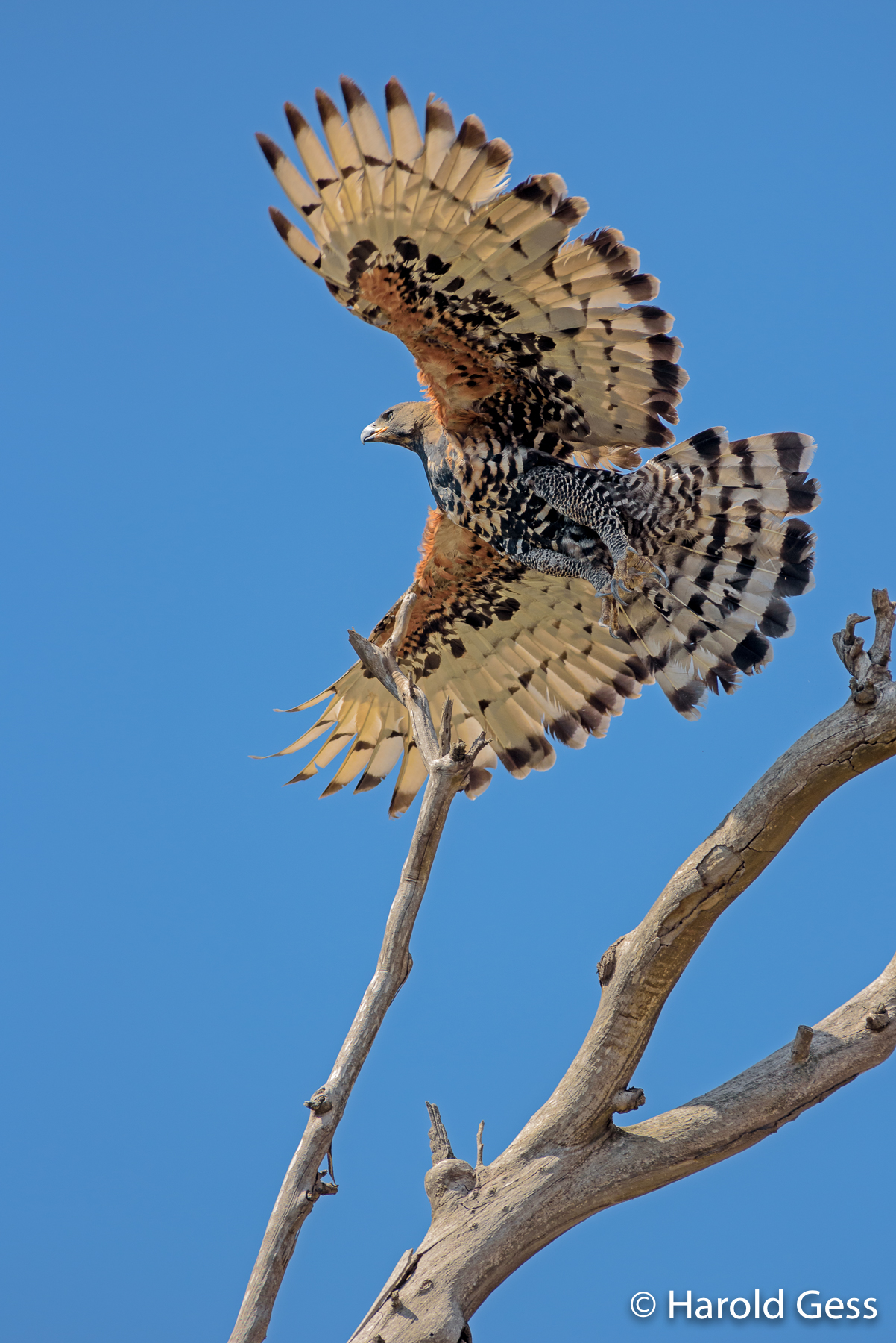 African Crowned Eagle (Stephanoaetus coronatus), between Bedford and Tarkastad, Eastern Cape, March 2019.