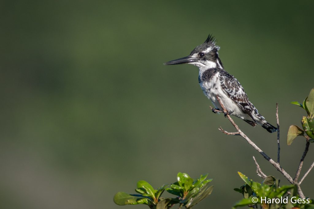 Pied Kingfisher (Ceryle rudis), Port Alfred, Eastern Cape. April 2019.