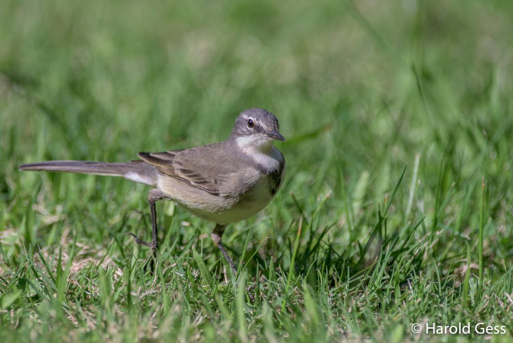 Cape Wagtail, Motacilla capensis, Grahamstown, Eastern Cape, May 2019