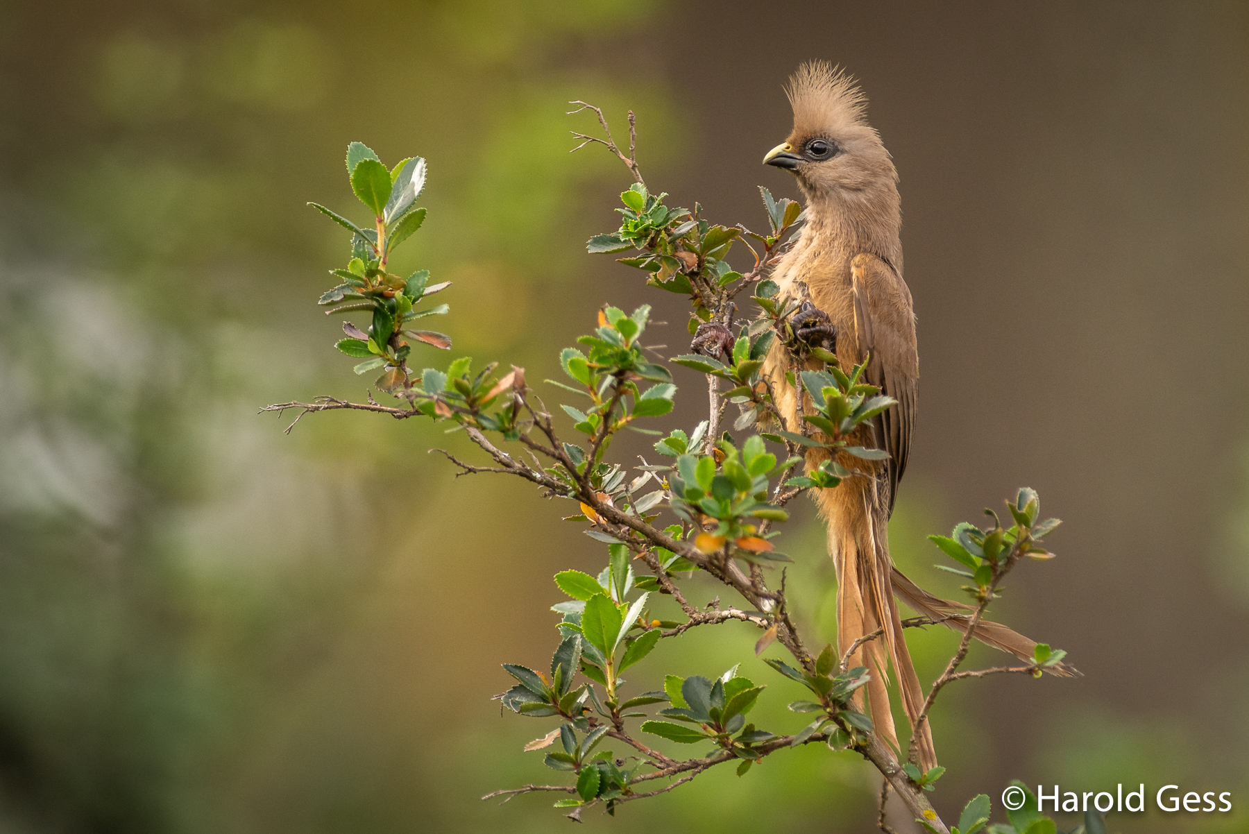 Speckled Mousebird (Colius striatus), Grahamstown, Eastern Cape, May 2019
