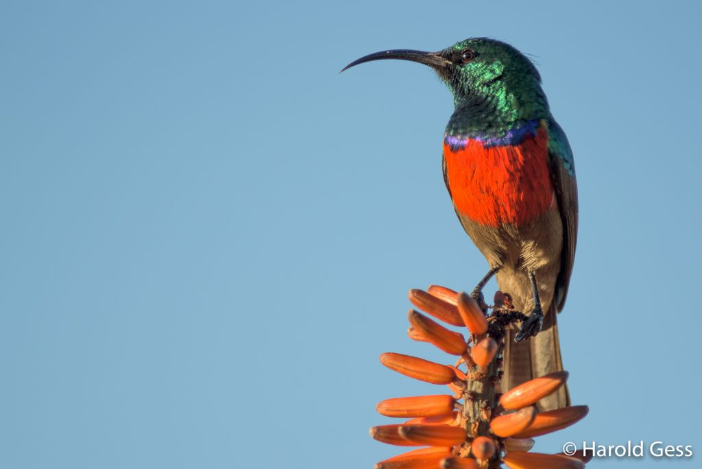 Greater Double-collared Sunbird, Cinnyris afer, male, Grahamstown, Eastern Cape, May 2019