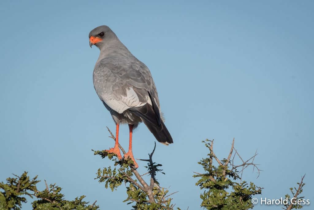 Southern Pale Chanting Goshawk, (Melierax canorus) near Grahamstown, Eastern Cape, July 2019