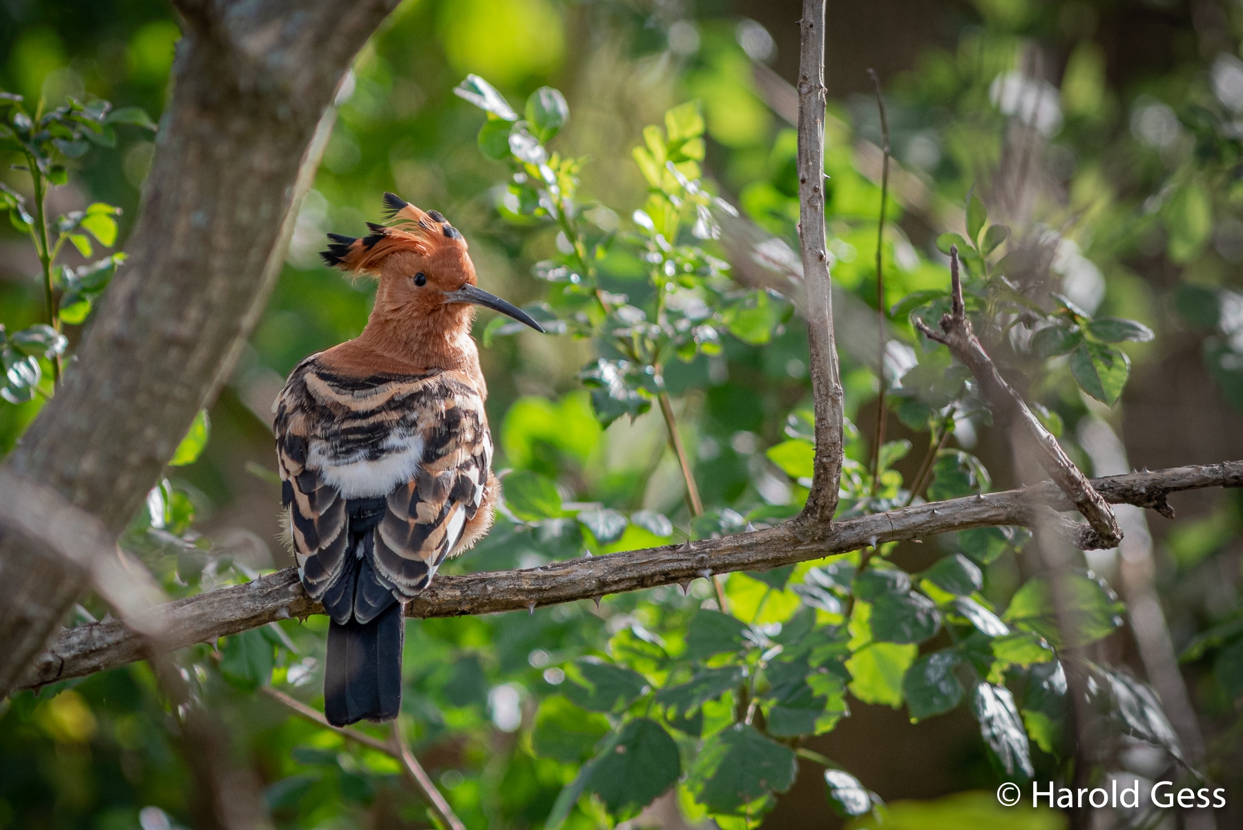 African Hoopoe, Upupa africana, Grahamstown, Eastern Cape, August 2019.