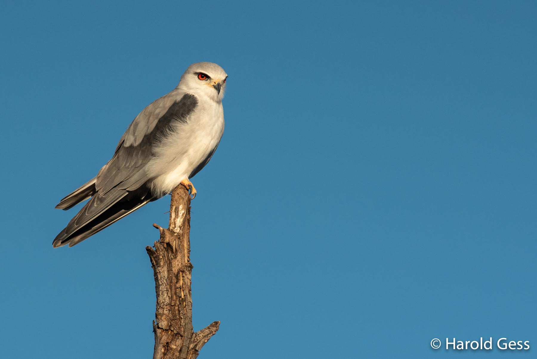 Black-shouldered Kite, Elanus caeruleus, near Grahamstown Eastern Cape, August 2019.