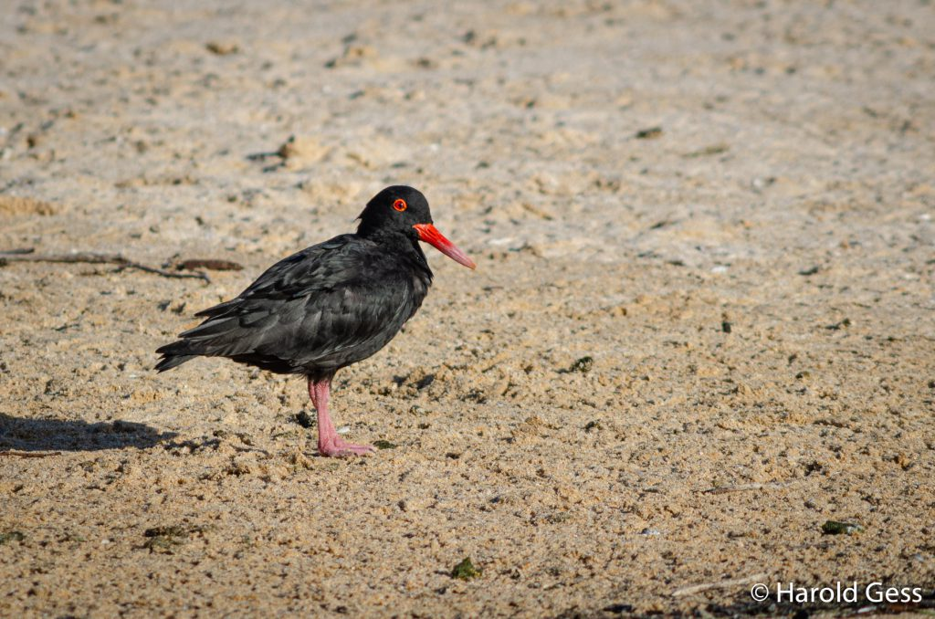 African Black Oystercatcher, Haematopus moquini, Port Alfred Eastern Cape, August 2019