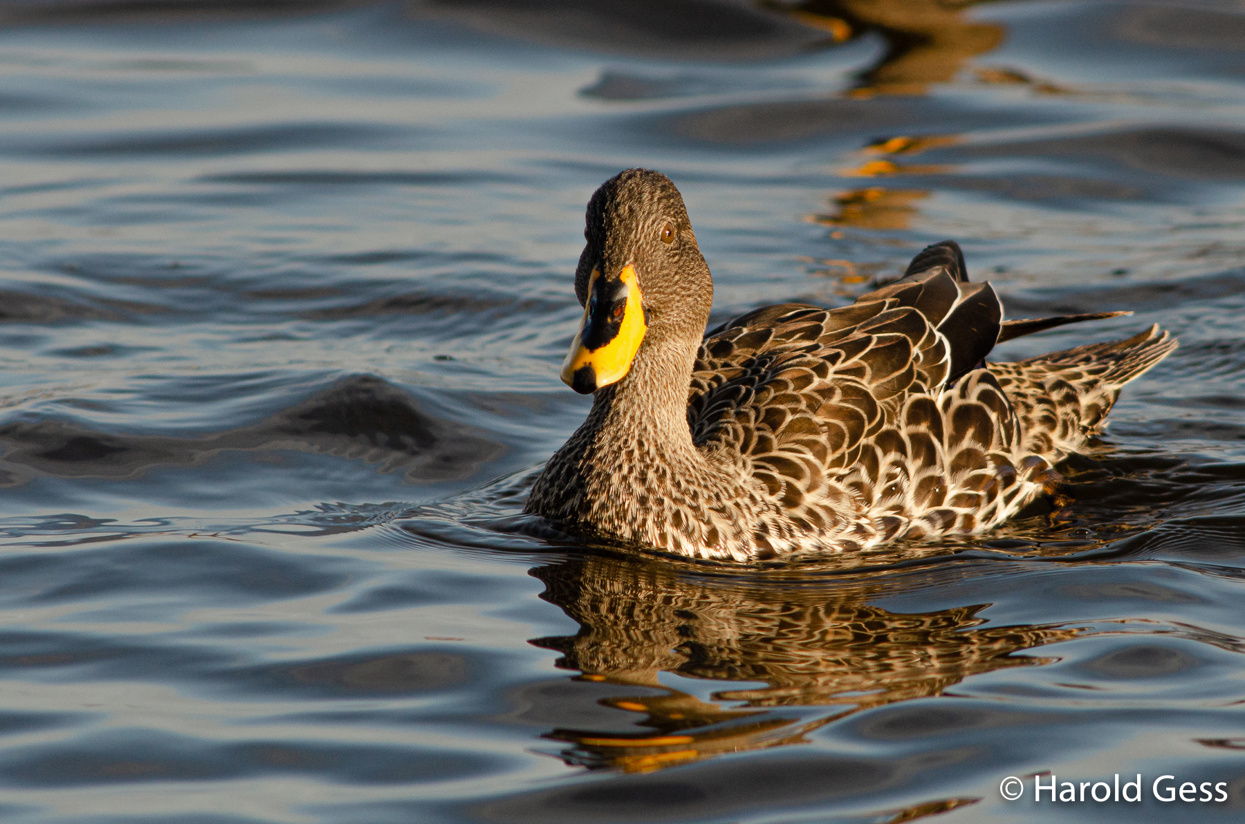 Yellow-billed Duck, Anas undulata, Port Alfred Eastern Cape, August 2019